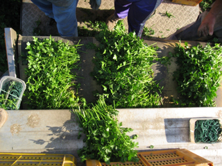 Parsley ready for bunching